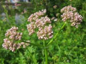 Baldrian (Valeriana officinalis): Pflanzliche Unterstützung bei Schlafproblemen