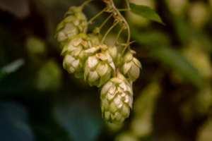 Hopfen (Humulus lupulus L.): Pflanzliche Schlafhilfe